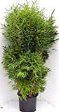 Bambus, Fargesia murielae Jumbo, Höhe: 160-170 cm, winterhart, immergrün + Dünger