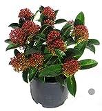 Skimmia japonica 'Magic Marlot' - japanische Blütenskimmie - Rarität. winterharter, immergrüner, blühender Strauch 13 cm Topf als Kübelpflanze - für Balkon, Terrasse, Garten
