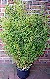 1 Stück Bambus, Fargesia murielae Jumbo, Höhe: 160-170 cm, winterhart, immergrün + Dünger