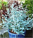 BALDUR Garten Winterharter Eukalyptus 'Azura' Blaugummibaum, 1 Pflanze Eucalyptus gunni echter Eukalyptus