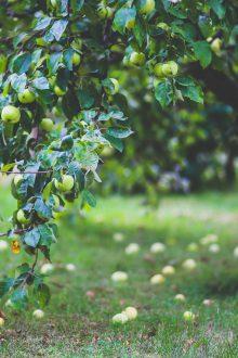 Apfelbaum mit Äpfel auf dem Boden