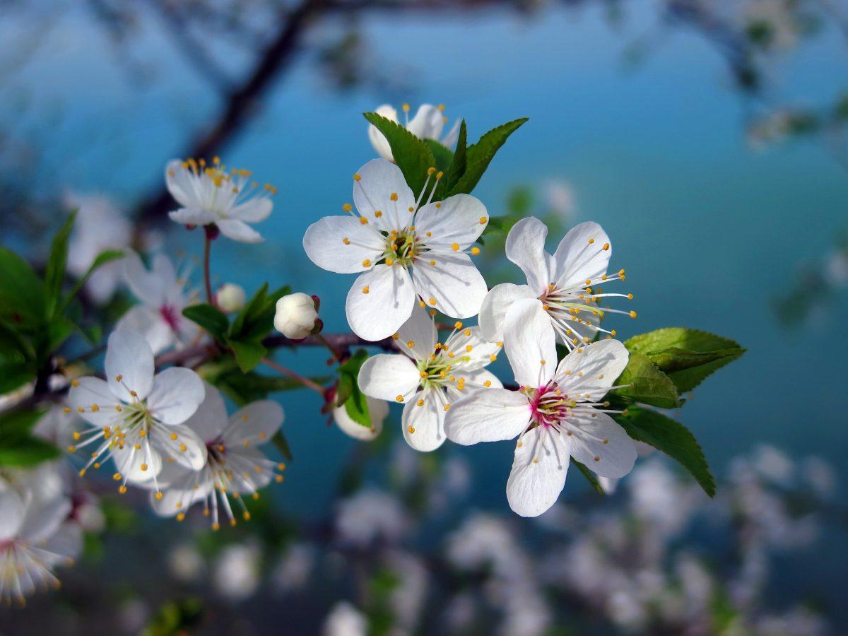 Kirschbaum, Kirschblüte