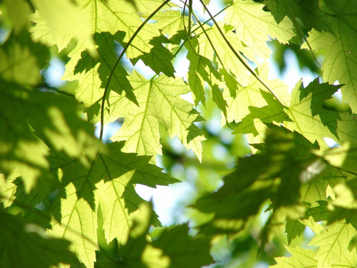Ahornblätter in der Sonne, Baum Rückschnitt