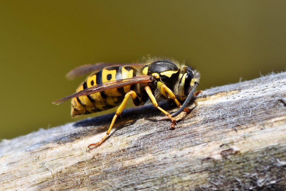 Was hilft gegen Wespen? Die besten Tipps & Tricks!