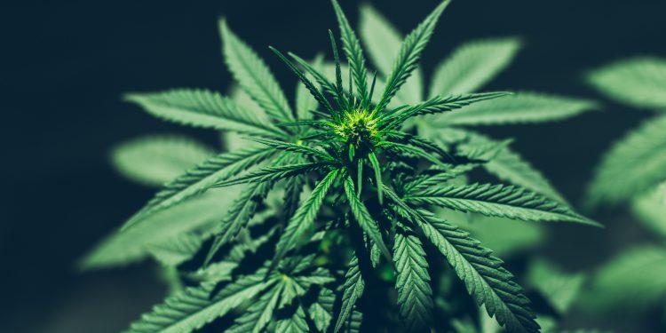 Wirkung von Cannabis - CBD-Öl ist aktuell beliebter denn je